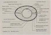 Gambar Bagian Telur