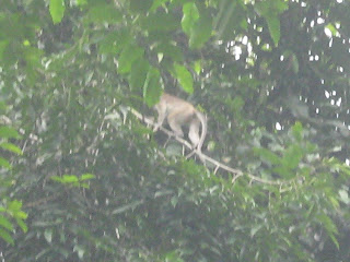 danum valley, monkey