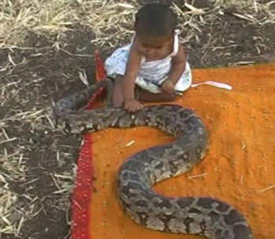 Girl plays with deadly python snakes ~ Stranger World