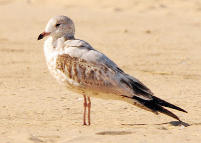 jvenile ring-billed gull
