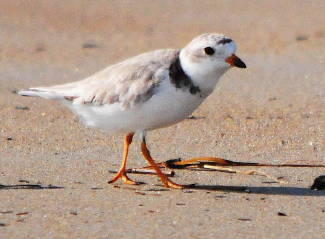 Adult Piping Plover