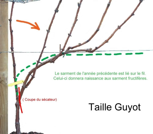 French vocabulary illustrated sarment for Define guyot