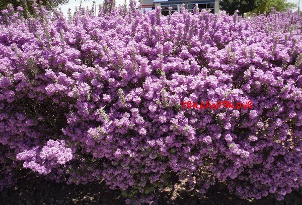 Embracing my past present and future life purple flowering bushes