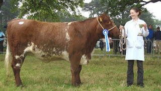 cow photos beef shorthorn picture