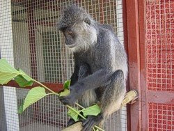 world monkey photos silvery lutung found in asia burma borneo laos vietnam cambodia