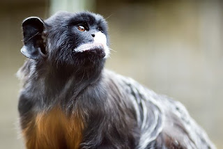 world monkey photos white lipped tamarin amazon south america brazil bolivia monkeys