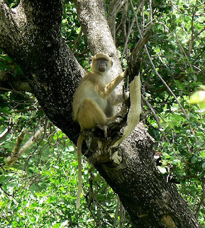 monkey photos yellow baboon eastern africa kenya tanzania botswana zimbabwe monkeys
