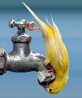 Bird drinking from a water tap