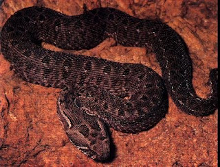 Mountain Adder