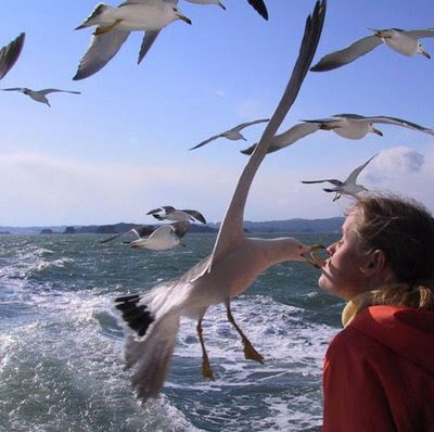 funny seagull pic taking chip out of boys mouth