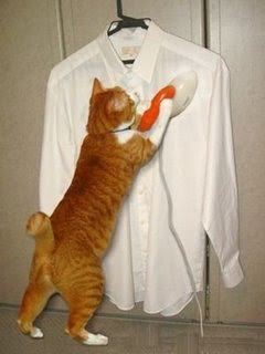 funny animal photos of ginger cat ironing a white shirt working pics