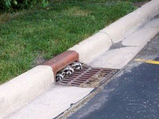 funny raccoons photos three living in a drain peering out not over the hedge
