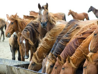 funny animal photos large amount of horses one is posing for photo