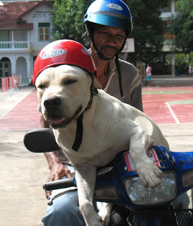 Dog on motorbike in Phuket