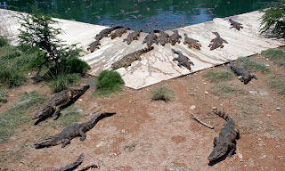 Crocodile farm in Phuket Town - crocs coming for lunch!