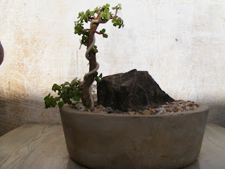 Enjoyable Bonsai Collection Of A Member Of Ahmedabad Bonsai Club My Jade Wiring 101 Photwellnesstrialsorg