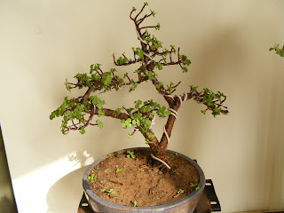 Surprising Bonsai Collection Of A Member Of Ahmedabad Bonsai Club Jade Twin Wiring 101 Photwellnesstrialsorg