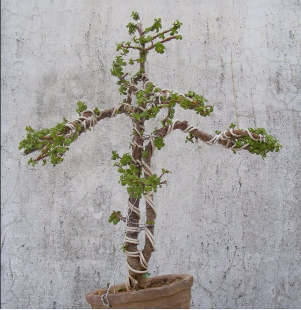 bonsai collection of a member of ahmedabad bonsai club rh rameshsinhabonsai blogspot com Bonsai Jade Plant Pruning Removing Wire From Jade Bonsai