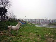 Os cavalos das Olaias