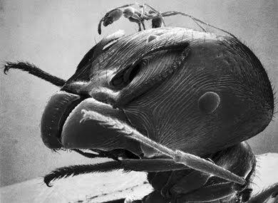 Pheidologeton diversus
