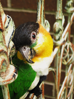 Black headed caique on iron trellis