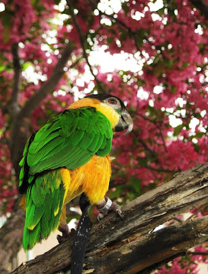 Caique Parrot in Pink Cherry tree full of flowers/blooms