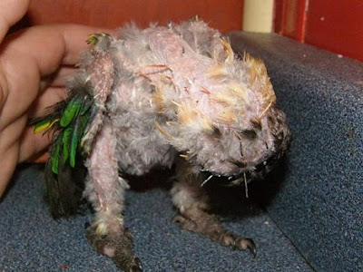 Caique named Tia infected with psittacine beak and feather disease PBFD