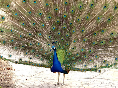 male Peacock displaying in full feather