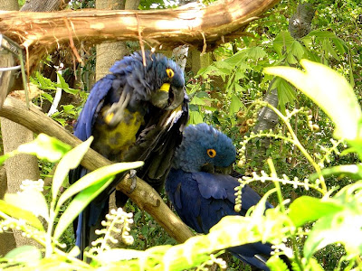 Hyacinth Macaws. One has plucked all of his chest feathers