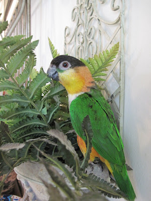 Caique Plant Pet Parrot
