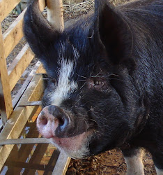 Betty the Berkshire - our very first pig.