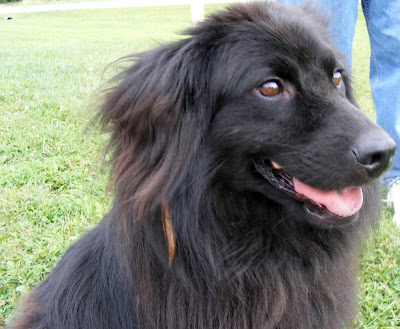 lab pyrenees mix for adoption dog breeds picture