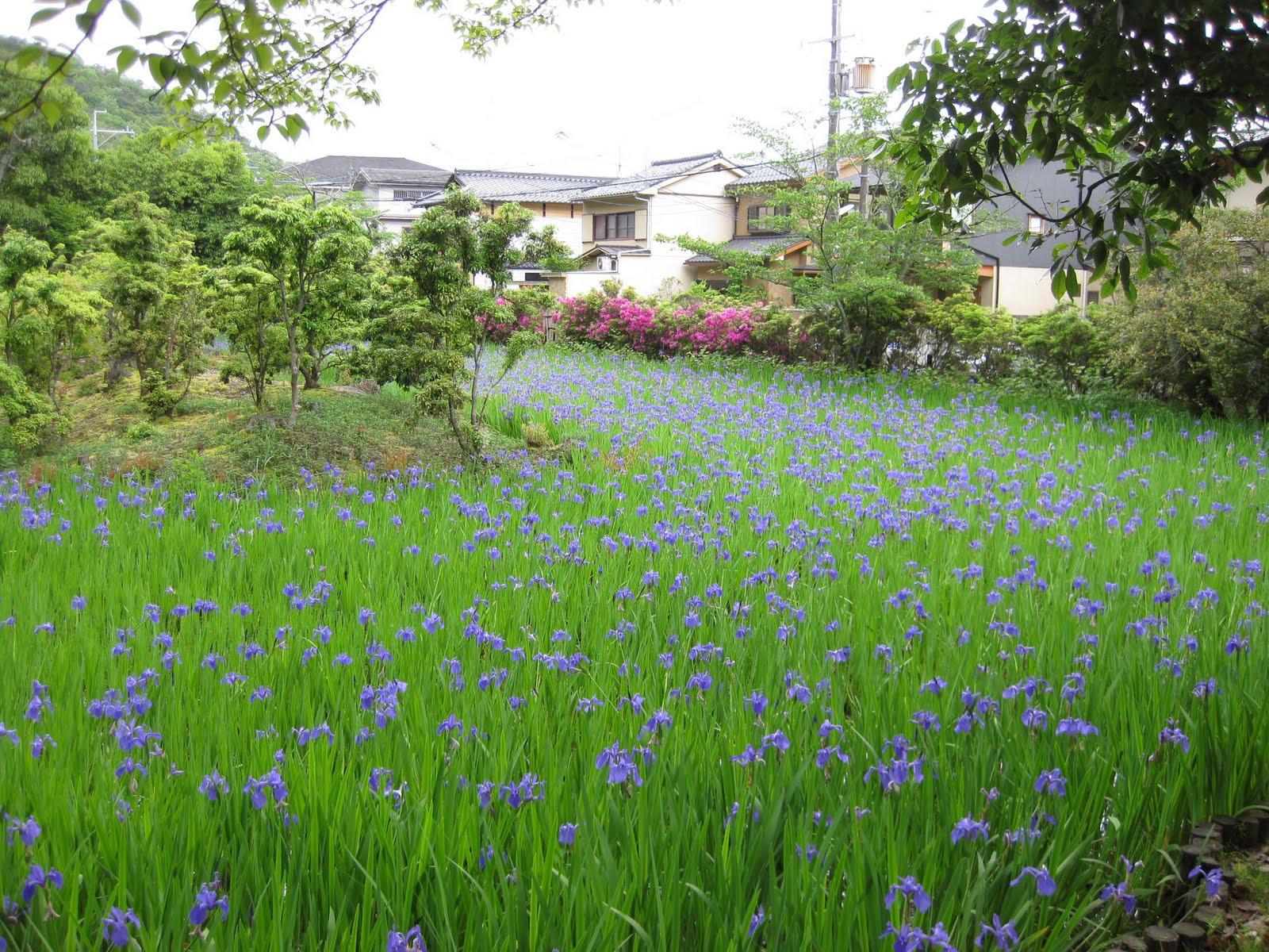 Kyoto style un piccolo stagno pieno di iris for Piccolo stagno
