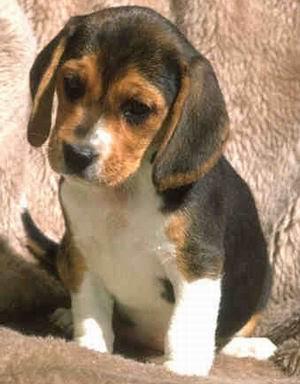 http://3.bp.blogspot.com/_BiM1qjJPkeA/Rz3v8Ez3G9I/AAAAAAAAAVk/BECbh7jP-9U/s400/beagle01.jpg