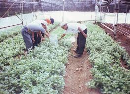 penelitian tanaman krisan