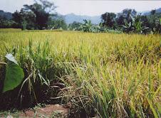 percobaan tanaman padi