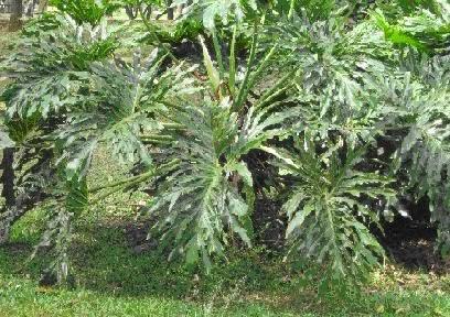 Iegamar expedicion bot nica siglo xxi plantas for Plantas ornamentales croto