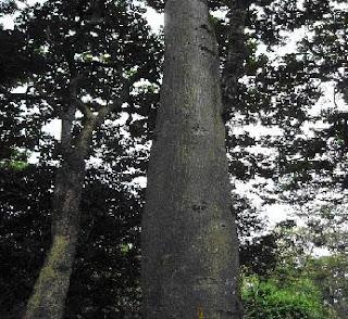 Iegamar expedicion bot nica siglo xxi planta ornamental ceiba for Plantas ornamentales croto