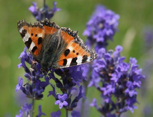 [Butterfly_on_lavander.170124318_std]