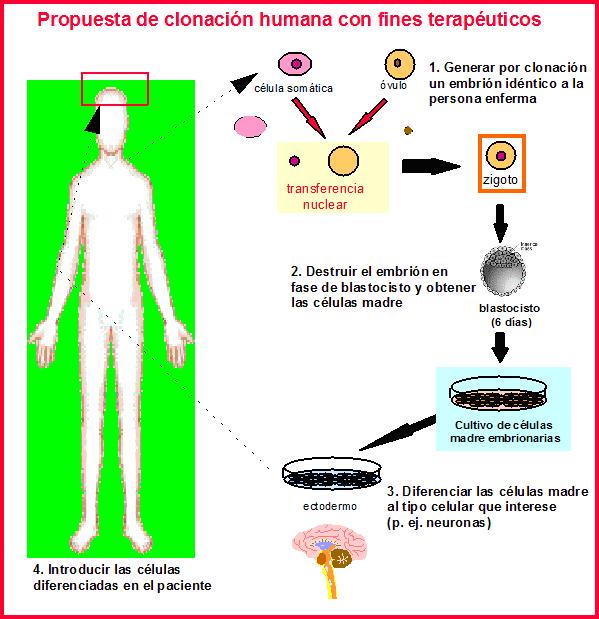 Mecanismos Moleculares de Diabetes: Clonación del cDNA del
