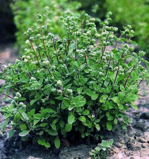 gardenseed sweet marjoram origanum majorana. Black Bedroom Furniture Sets. Home Design Ideas