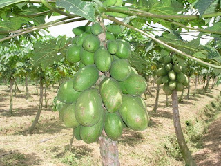 how to grow papaya in container