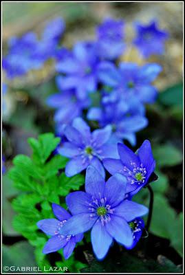 Samba florilor download zippy lora