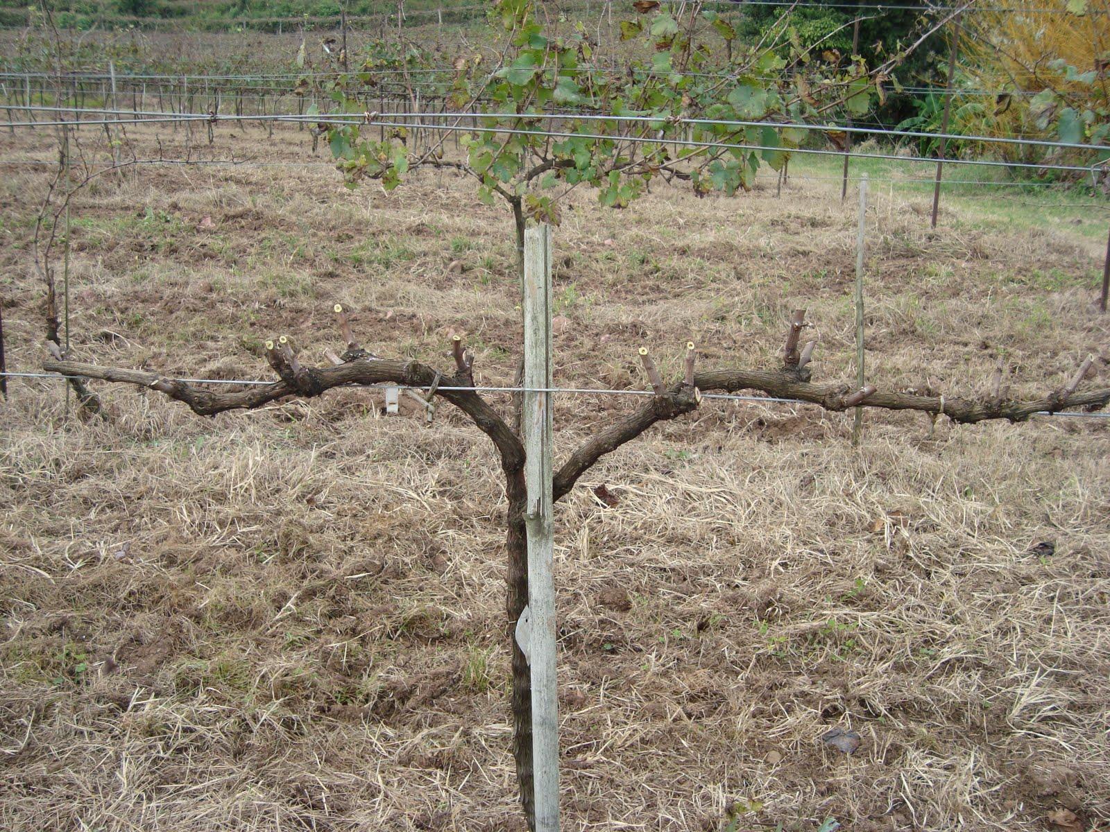My vineyards influ ncia da poca de poda sobre a poca de - Poda de hortensias epoca ...