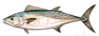 Fish of the day atlantic bonito for Bonita fish recipes