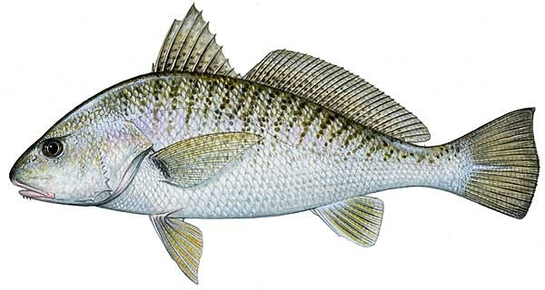 Fish of the day atlantic croaker for Whiting fish picture