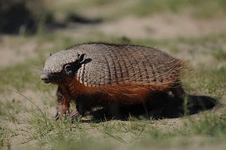 Armadillo in Punta Norte, exotic animal from patagonia