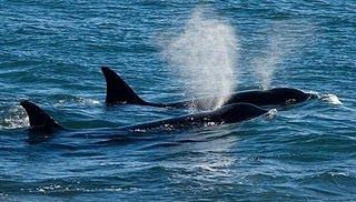 Orcas swiming in Punta Norte Patagonia Argentina