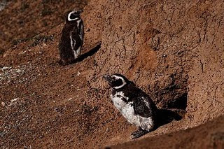 Penguins from Caleta Valdés are preparing their leaving