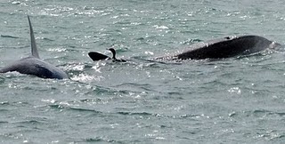 A cormorant was sharing hours on the sea with Orcas at the attack  channel in Punta Norte